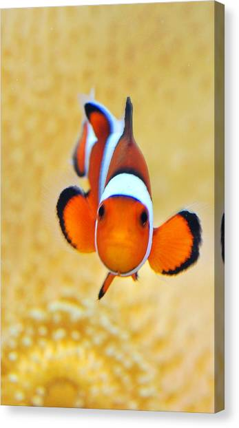 Ocellaris Clownfish Canvas Print