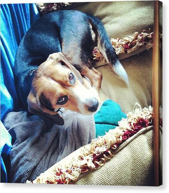 Beagles Canvas Print - Oh, Hi! I Made A Bed For Myself! by Harsh Vahalia