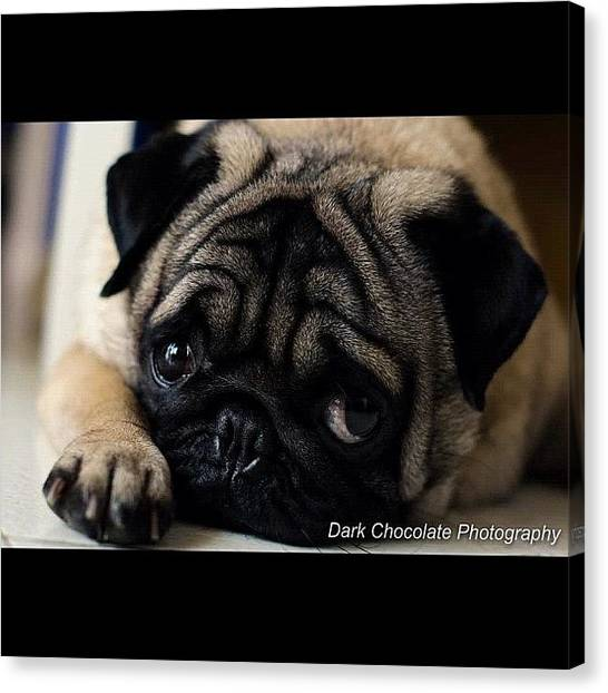 Pugs Canvas Print - Oh My Boy by Zachary Voo