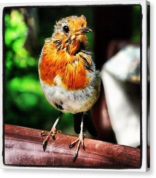 Robins Canvas Print - Old Robin Red Breast #robin #nature by Chris Barber