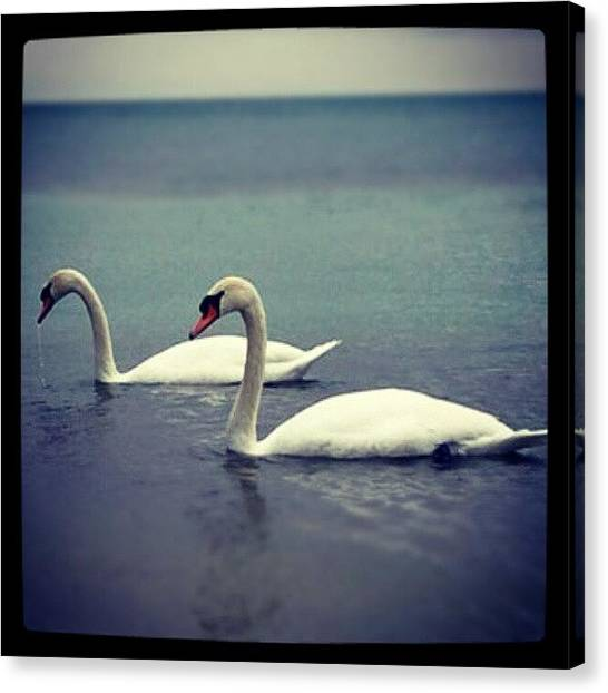 Swans Canvas Print - Oldie But Goodie #canada #home #swan by Natalia D