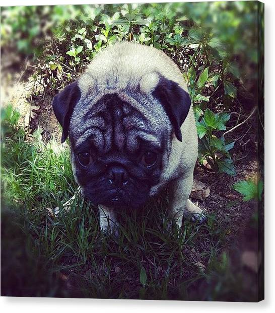 Pugs Canvas Print - Omg! Pecu Is So Cute When He Was Poo by Zachary Voo