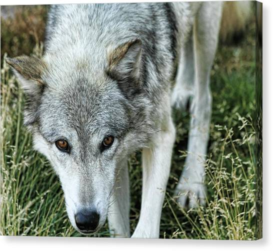 Ominous Stare Canvas Print by Gene Praag