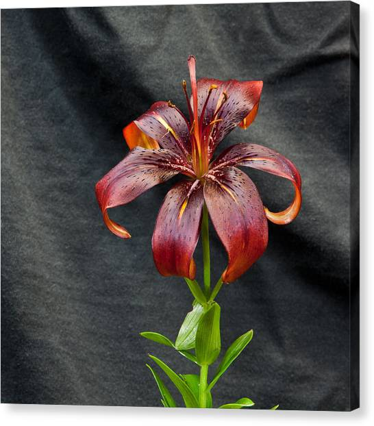 One Black Lily Canvas Print
