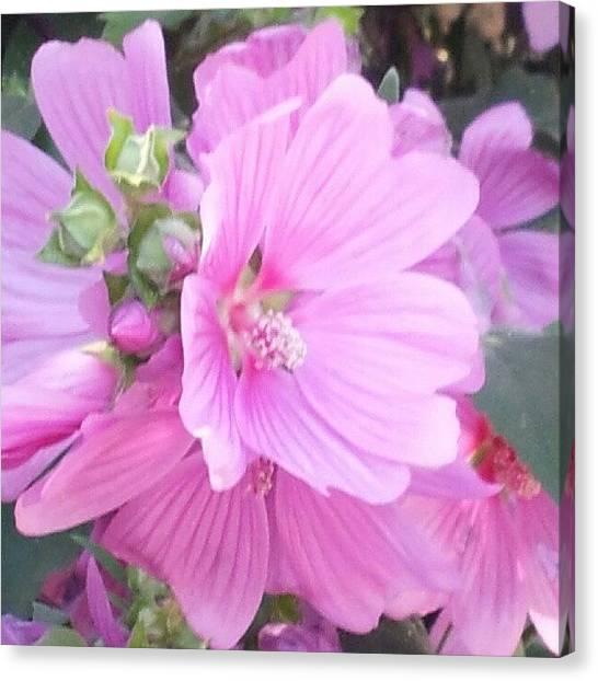 Irises Canvas Print - One Pretty Pink. by Mandi Ward