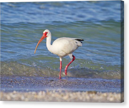 Ibis Canvas Print - One Step At A Time by Betsy Knapp