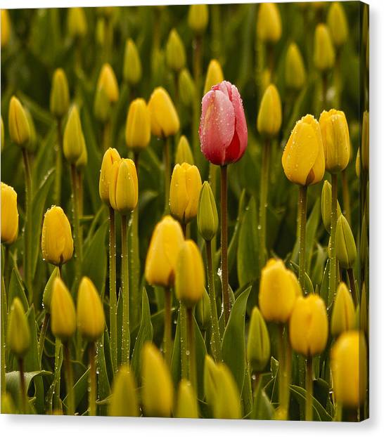 One Tulip Canvas Print