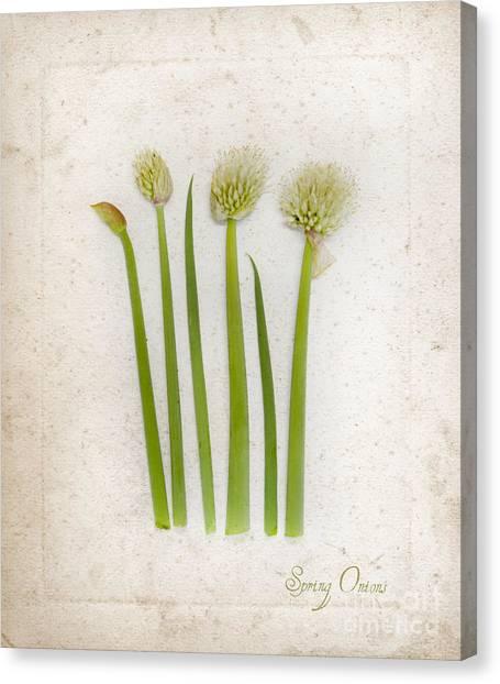 Onion Art Canvas Print