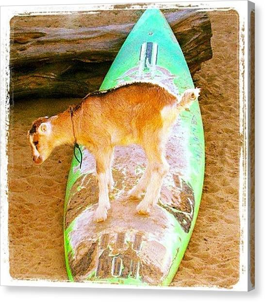 Goats Canvas Print - Only In #hawaii - #surfing #goat #dairy by Mariana L