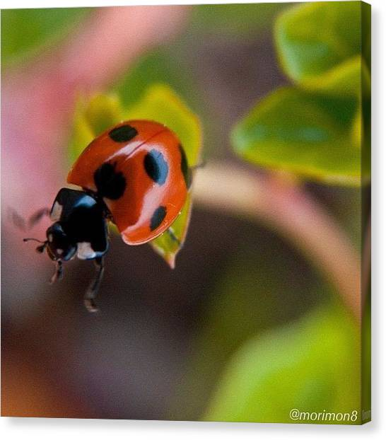 Ladybugs Canvas Print - Oops!! by Morley🇯🇵♂ もーりー∞♂