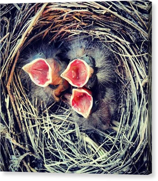 Sparrows Canvas Print - Open #beak Insert #bugs #sparrow by Joe P