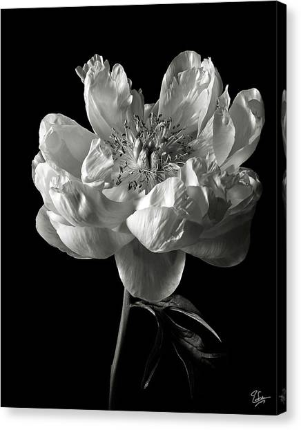 Open Peony In Black And White Canvas Print