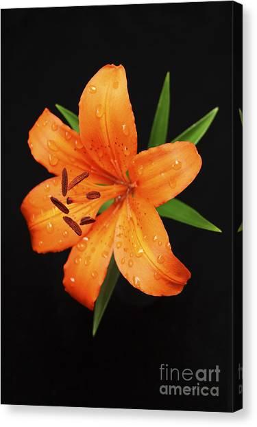 Orange Asiatic Lily Canvas Print by Gordon Wood