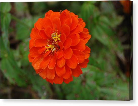 Orange Canvas Print by Beverly Hammond