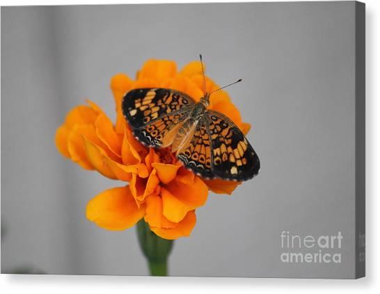 Orange Butterfly 1 Canvas Print