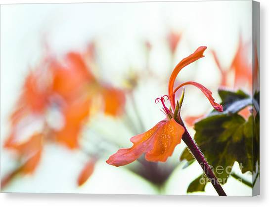 Orange Cranesbill Canvas Print by David Lade