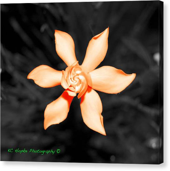 Orange Gardenia Bonsai Canvas Print by Adam Hopke