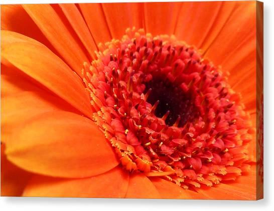 Orange Gerbera Close Up Canvas Print