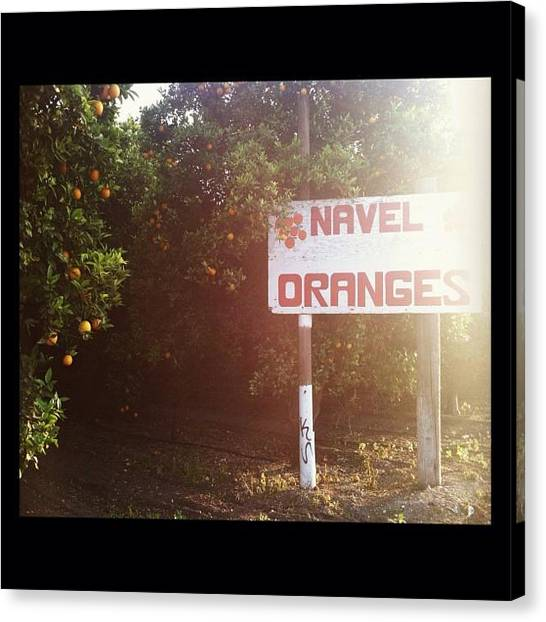 Grove Canvas Print - Orange Groves And Sunshine by Katie Geyer