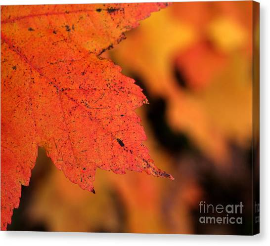 Orange Maple Leaf Canvas Print by Chris Hill