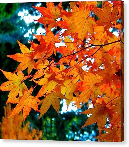 Japanese Canvas Print - Orange Maple Leaves by Anna Porter