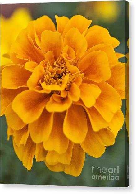 Orange Marigold Canvas Print