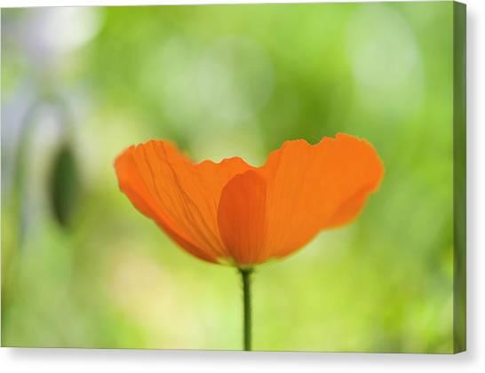Orange Poppie Canvas Print