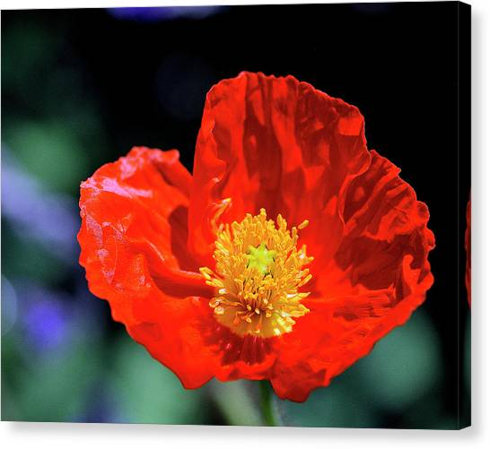 Orange Poppy Canvas Print