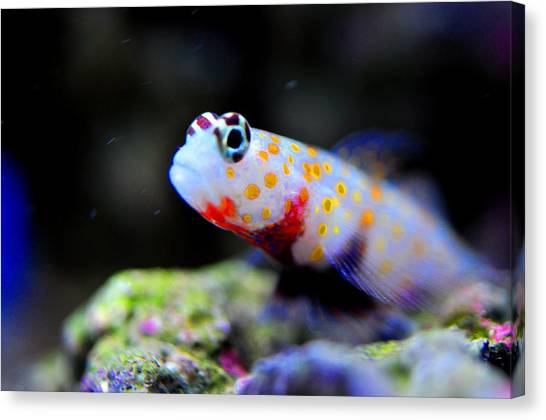 Orange Spotted Shrimp Goby Canvas Print