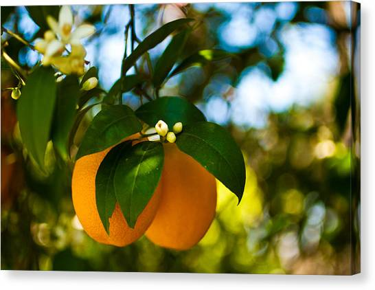 Oranges And Blossoms Canvas Print