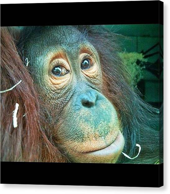 Orangutans Canvas Print - #orangutan At #monkeyworld by Lee Hibberd