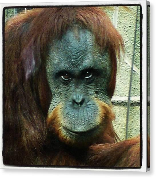 Orangutans Canvas Print - #orangutan #chesterzoo by Mathew Aspey