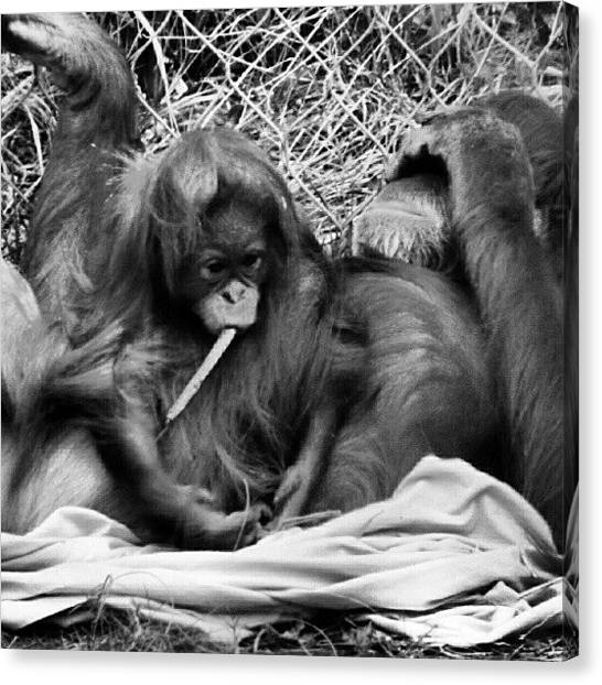 Orangutans Canvas Print - #orangutan #family #beauty #beautiful by Diana Garcia