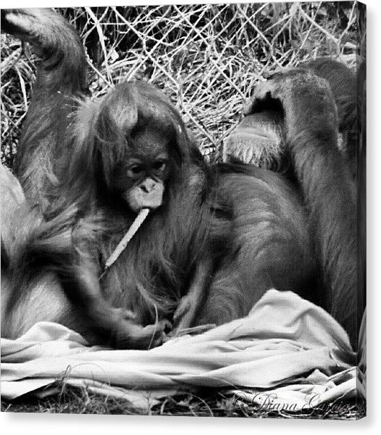 Orangutans Canvas Print - #orangutan #family #love #cute #monkeys by Diana Garcia