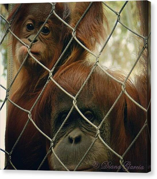 Orangutans Canvas Print - #orangutan #family #mother #baby #cute by Diana Garcia