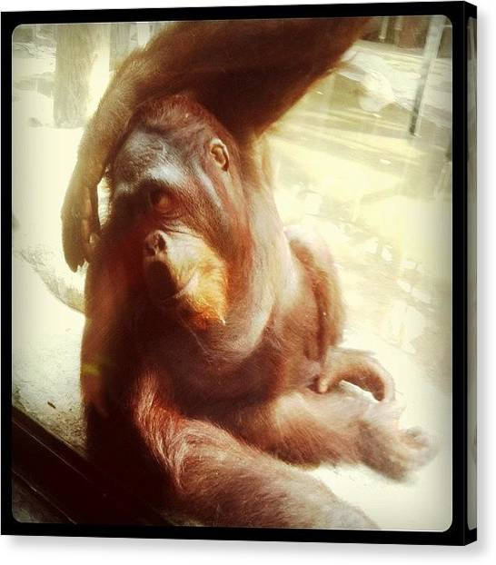 Orangutans Canvas Print - #orangutan by Mary Rose