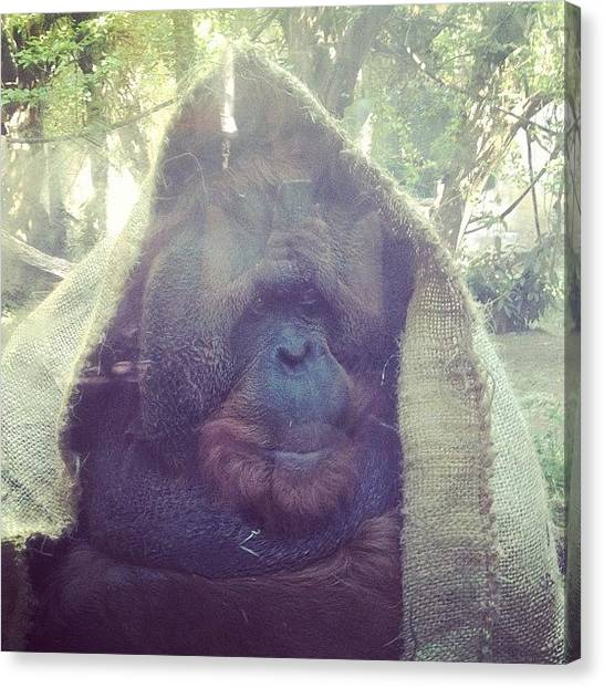 Orangutans Canvas Print - Orangutan Pressed Up Against The Glass by Ashley Brandt