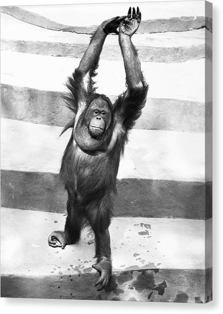 Orangutan W/arms Up Canvas Print by George Marks
