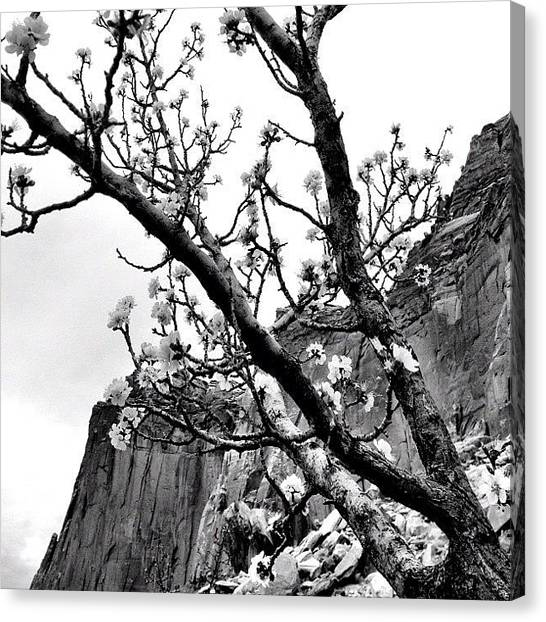 Orchard Canvas Print - #orchard #blossom #tree #capitolreef by Invisible Cirkus