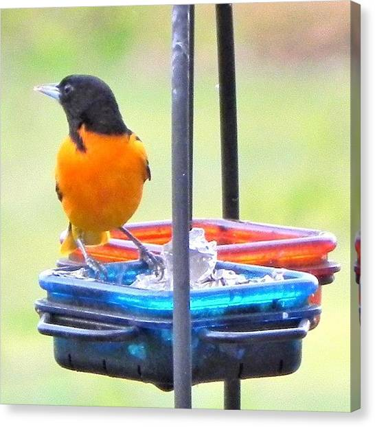 Orioles Canvas Print - #oriole #baltimoreoriole #bird #color by Vickie ODell