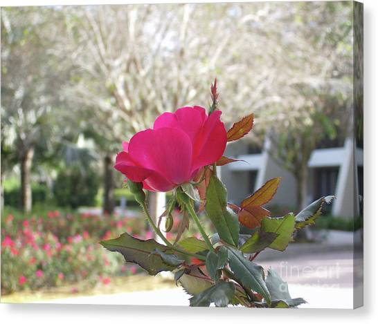 Orlando Rose Canvas Print by Jane Whyte