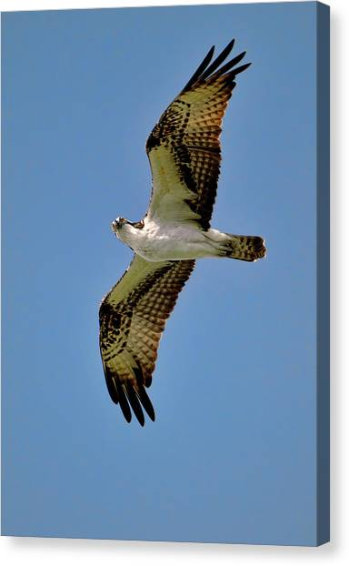 Osprey Above Canvas Print