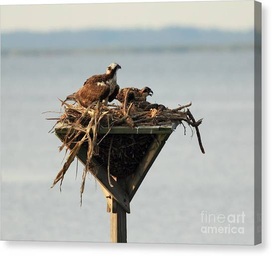 Osprey And Chicks Canvas Print