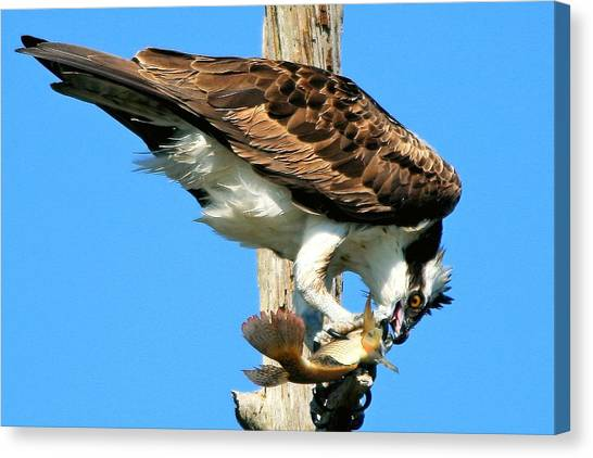 Osprey Eating A Fish Canvas Print