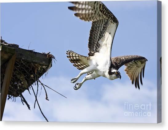 Osprey Flying From Nest Canvas Print by John Van Decker