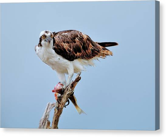 Osprey In The Morning Canvas Print