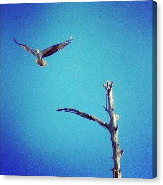Osprey Canvas Print - Osprey #instanaturelover #birdsofprey by Dan Piraino