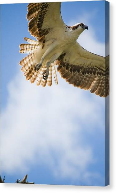 Osprey Canvas Print by Mike Rivera