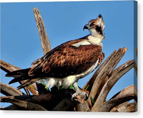 Osprey On A Windy Morning Canvas Print