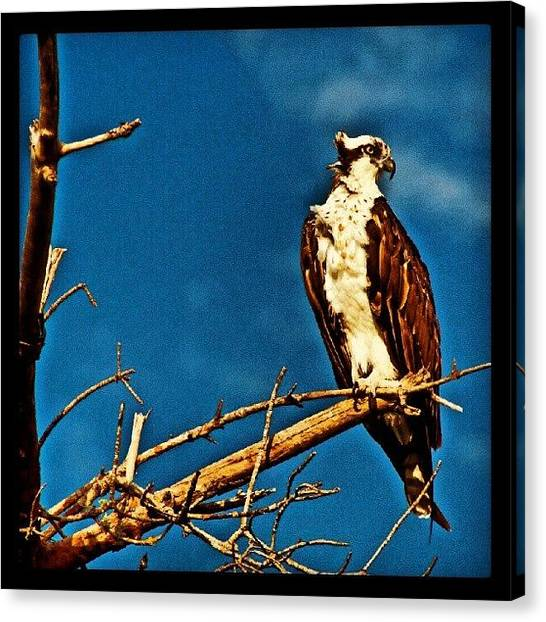 Osprey Canvas Print - Osprey On Sanibel Island, Florida by Troy Thomas